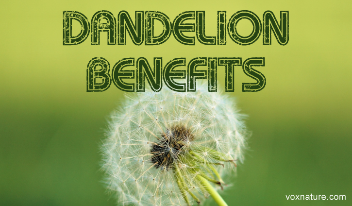 Using Dandelion for Good Health