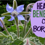 Amazing Benefits of Borage (Health and Gardening)
