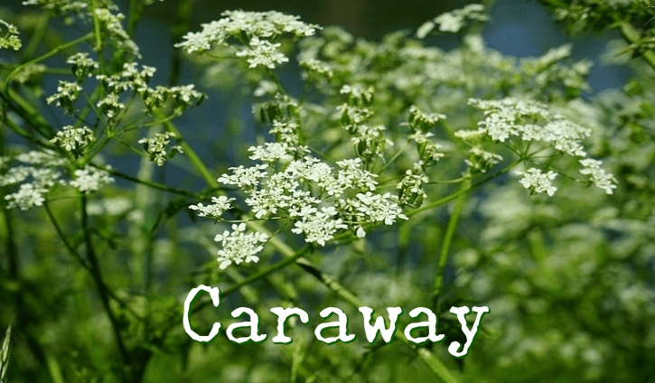 The Benefits of Using Caraway (Persian cumin)