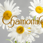 Chamomile: Another Super Herb with Great Benefits