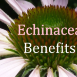 Health Benefits of Echinacea (purple coneflower)