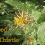 Health Benefits of Blessed Thistle (Cnicus Benedictus)
