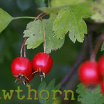 Medicinal Benefits of Hawthorn (Crataegus)