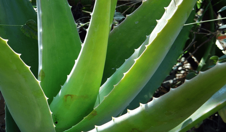 Health Benefits and Uses of Aloe Vera