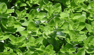 Benefits of Using Bacopa (Brahmi)
