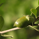 Benefits and Uses of Jojoba (Simmondsia Chinensis)