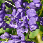 Medicinal Benefits and Uses of Aconite (Aconitum)