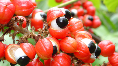 Benefits and Uses of Guarana (Paullinia cupana)
