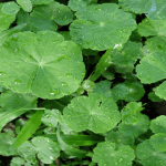 Health Benefits and Uses of Gotu Kola (Centella Asiatica)