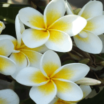 Medicinal Benefits and Uses of Jasmine (Jasminum)