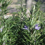 Health Benefits and Uses of Rosemary (Rosmarinus officinalis)