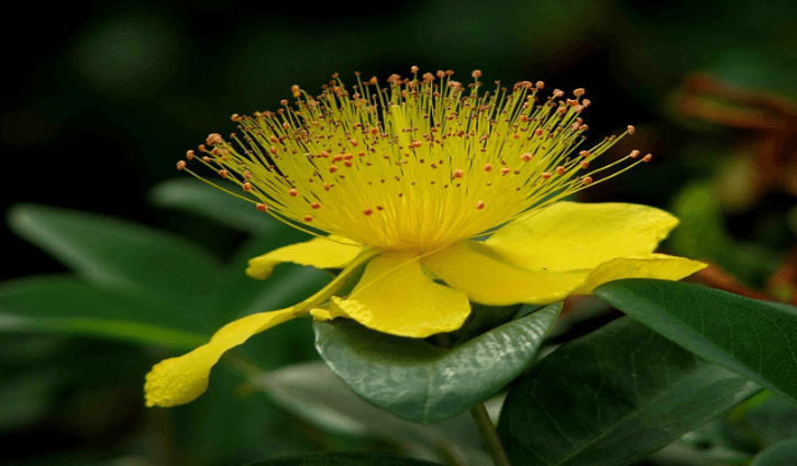 Medicinal Benefits and Uses of St. John's Wort (Hypericum perforatum)