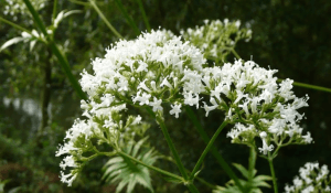 Benefits and Uses of Valerian (Valeriana Officinalis)