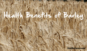 Consuming Organic Whole Grain Barley for Good Health