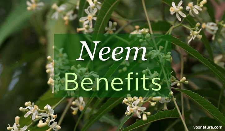 Medicinal Benefits and Uses of Neem (Azadirachta indica)