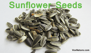 Health Benefits and Uses of Sunflower Seeds