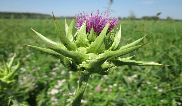 Medicinal Benefits and Uses of Milk thistle (Silybum marianum)