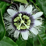 Health Benefits and Uses of Passion Flower (Passiflora)