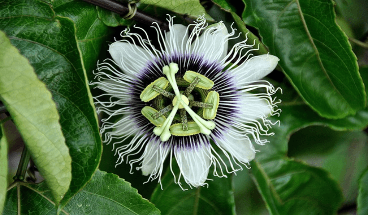 Health Benefits and Uses Passion Flower (Passiflora)