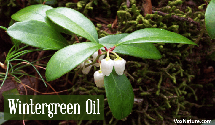 Medicinal Benefits and Uses of Wintergreen Essential Oil