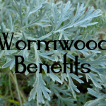 Medicinal Benefits & Uses of Wormwood