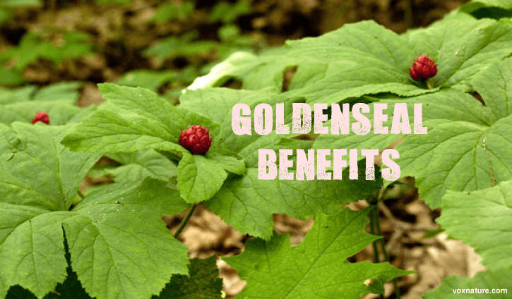 Health Benefits of Goldenseal (Hydrastis canadensis)