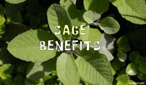 Medicinal Benefits of Sage (Salvia officinalis)