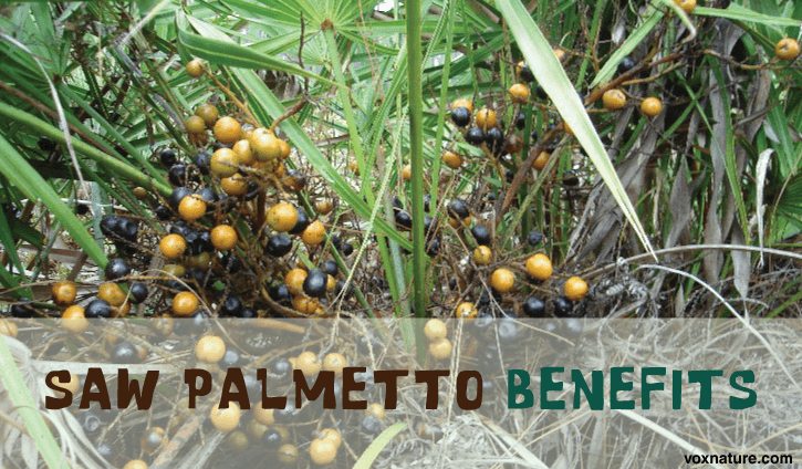 Health Benefits of Saw Palmetto (Serenoa repens)