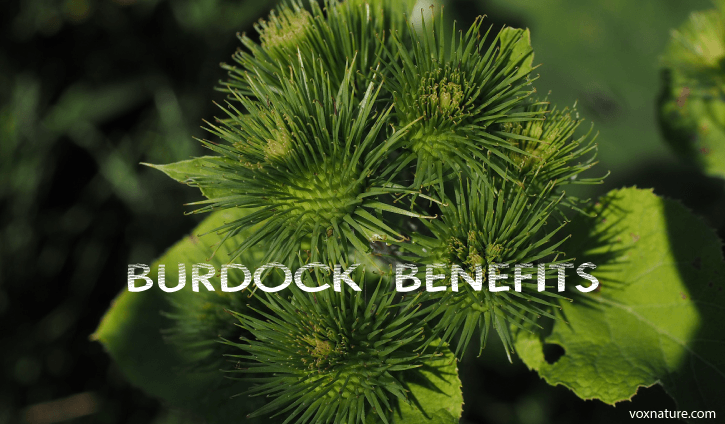 Health Benefits and Uses of Burdock (Arctium)