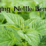 Health Benefits and Uses of Stinging Nettle (Urtica dioica)