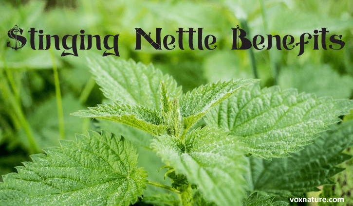 Health Benefits And Uses Of Stinging Nettle Urtica Dioica