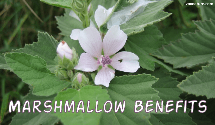 Health Benefits and Uses of Marshmallow (Althaea officinalis)