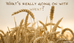It's Not the Gluten: Something Else is Wrong With Wheat