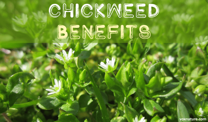 Medicinal Benefits of Chickweed (Stellaria media)