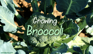 Growing and Harvesting Your own Organic Broccoli