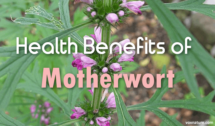 Health Benefits and Uses of Motherwort (Leonurus cardiac)