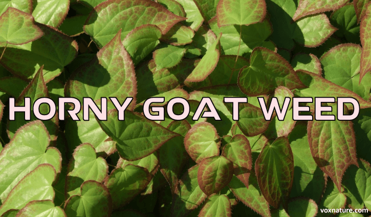 When to take horny goat weed
