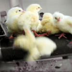 "Germany – The First Country to Put an End to ""Chick Shredding"""