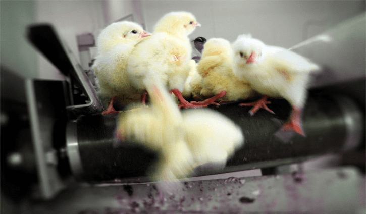 "Germany - The First Country to Put an End to ""Chick Shredding"""