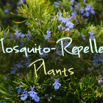 12 Plants that Repel Annoying Blood-Sucking Mosquitoes