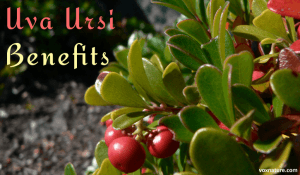 Health Benefits of Uva Ursi (Arctostaphylos uva-ursi)