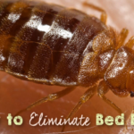 7 Home Remedies to Get Rid of Bed Bugs (Cimex lectularius)
