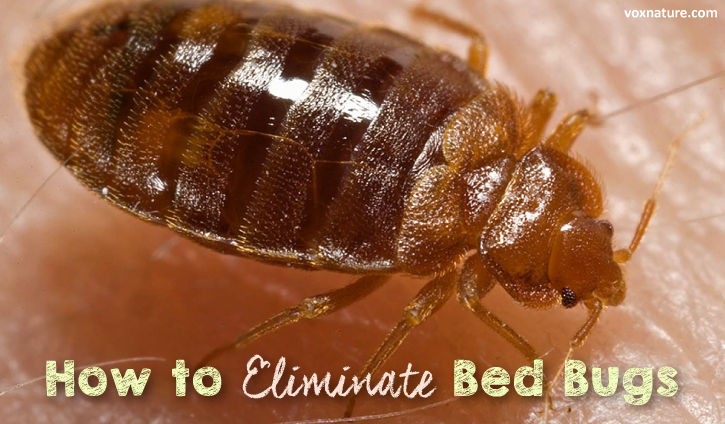 7 Natural Ways to Eliminate Bed Bugs (Cimex lectularius)