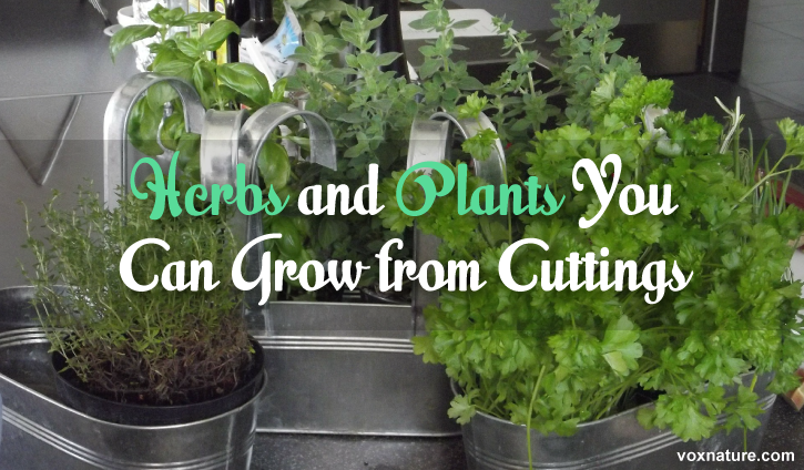 12 Herbs and Plants You Can Grow from Cuttings