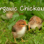 How to Raise Organic Chickens