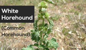Health Benefits of White Horehound (Marrubium vulgare)