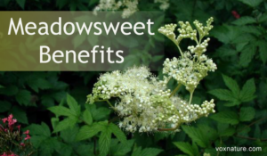 Health Benefits of Meadowsweet (Filipendula ulmaria)
