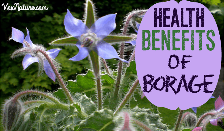 and occasionally found in northern Africa Amazing Benefits of Borage (Health and Gardening)
