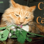 Catnip: Cats Can't Help but Lick, Roll and Eat It
