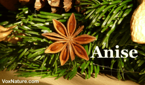 Anise: Another Belittled Herb with Big Qualities